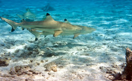 Shark over a coral reef at ocean Stock Photos