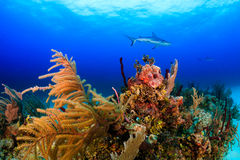 Shark over a reef Royalty Free Stock Photography