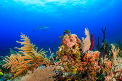 Shark over a reef Stock Images