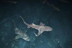 Shark pair stock photos