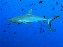 Shark in Palau royalty free stock photography