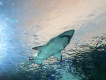 Shark passes overhead in blue water Royalty Free Stock Photography