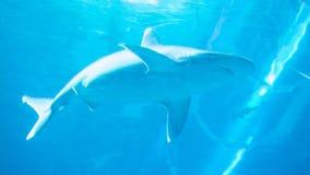 The Shark royalty free stock photo