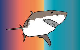 Shark predator. The white shark is a predator Royalty Free Stock Photos