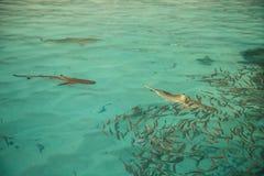 Shark preys on fish. In open sea Stock Image