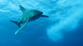 Shark stock video