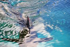 Shark with red tip dorsal fin in blue water Stock Photos