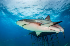 Shark on a Reef Royalty Free Stock Image
