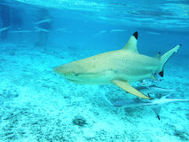The shark and remora-fish in the clear water of the ocean. Underwater camera royalty free stock photo