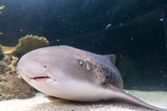 Shark resting on the sea bottom Stock Images
