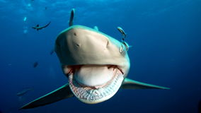 Into a shark`s big mouth. A front view of a shark is seen with its mouth wide open and a few other fish in the background under deep blue waters stock photos