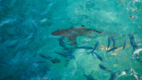 Shark in a school of reef fish, turquoise clear ocean. Business concept be unique and outstanding from other  amongaroundbeautiful. Shark in a school of fish Stock Photography