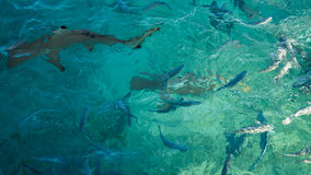 Shark in a school of reef fish, turquoise clear ocean. Business concept be unique and outstanding from other  amongaroundbeautiful. Shark in a school of fish Stock Image