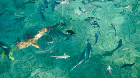 Shark in a school of reef fish, turquoise clear ocean. Business concept be unique and outstanding from other. Shark in middle school of reef fish, turquoise Stock Photography