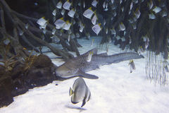 Shark and schools of fishes around, vegetation Royalty Free Stock Image