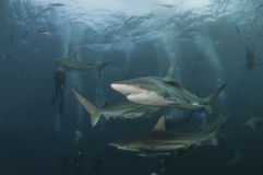 Shark sequence Stock Photography