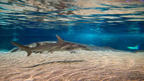 Shark or sharks on its environment Stock Photo
