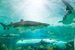 Shark or sharks on its environment Royalty Free Stock Image