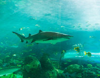Shark or sharks swimming Stock Photo