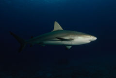 Shark side view Stock Photography