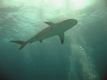 Shark Silhouette. Caribbean Reef Shark in Silhouette, Underwater, Nassau, Bahamas Royalty Free Stock Images