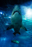 Shark silhouette underwater. Danger concept royalty free stock images