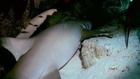 Shark is sleeping in the reef in lagoon ocean. stock video