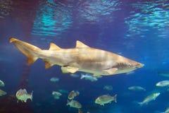 Shark among the small fish Royalty Free Stock Image
