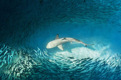 Shark and small fishes in ocean Royalty Free Stock Images