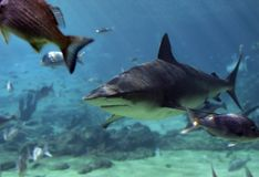 Shark&Snapper. Shark swimming over reef with snapper Stock Photos