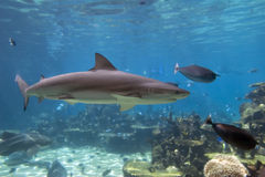 Shark swim Stock Image