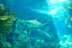 A shark is swiming. A shark is swimming in clear blue water at a local aquarium, taken in Florida royalty free stock photo
