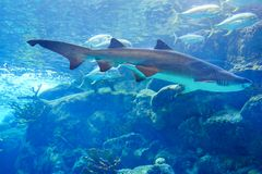 A shark is swiming. A shark is swimming in clear blue water at a local aquarium, taken in Florida Royalty Free Stock Images