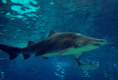 Shark swimming. Underwater side view of a shark swimming in bright blue water. Its mouth is slightly open to show sharp teeth. Manta ray in the background stock photo