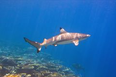Shark swimming above coral reef Royalty Free Stock Images