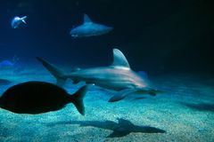 Shark swimming in aquario in the foreground stock photography