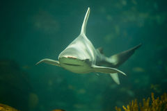 Shark swimming in aquarium JAWS. JAWS shark in an aquarium swimming with coral royalty free stock image