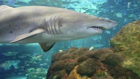 Shark swimming in aquarium stock video