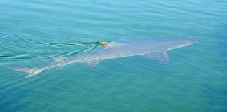 Shark swimming in Shark Bay. Western Australia royalty free stock photo