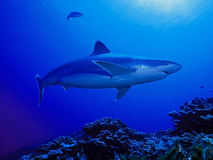 Shark swimming in blue waters. Large shark swimming in blue waters from below Stock Image