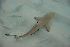 Shark Swimming with cleaner wrasses on Shallow Sea Water. Showing symbiotic relationship stock photos