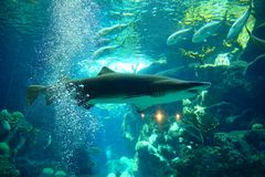 A shark is swiming. A shark is swimming in clear blue water at a local aquarium, taken in Florida Stock Photo