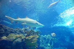 A shark is swiming. A shark is swimming in clear blue water at a local aquarium, taken in Florida Stock Photography