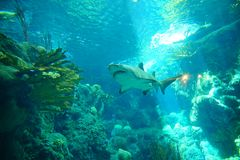 A shark is swiming. A shark is swimming in clear blue water at a local aquarium, taken in Florida Stock Image