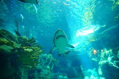 A shark is swiming. A shark is swimming in clear blue water at a local aquarium, taken in Florida Royalty Free Stock Photography