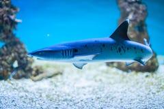 Shark swimming. Closeup of a small shark swimming in aquarium stock photos