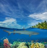 Shark swimming among corals Stock Images