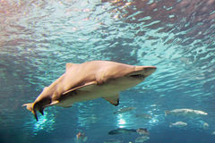 Shark. A shark is swimming in the deep water Stock Images