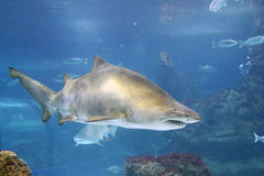 Shark. A shark is swimming in the deep water Stock Photo