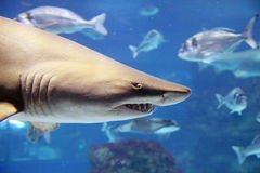 Shark. A shark is swimming in the deep water Stock Photos